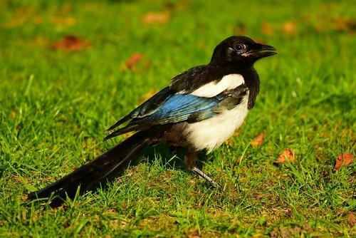 magpie  eurasian magpie  bird