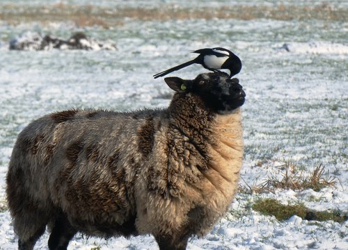 magpie  sheep  whey