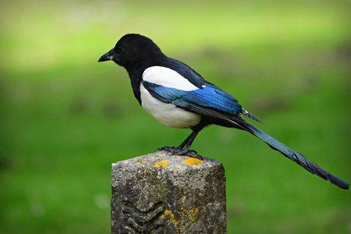 magpie  bird  animal