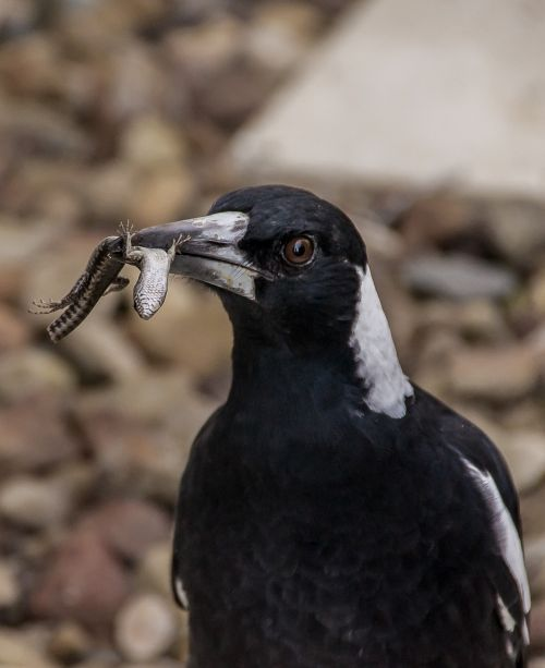magpie australian magpie hungry