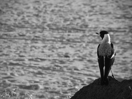 magpie bird crow
