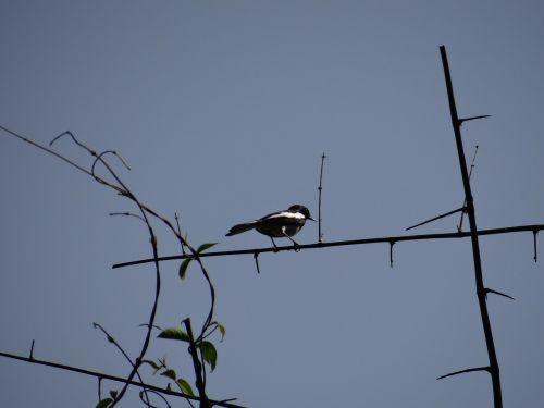 magpie robin bird dandeli