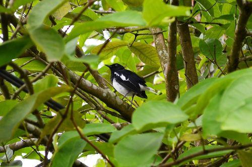 magpie robin bird nature
