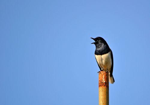 magpie robin bird singing bird