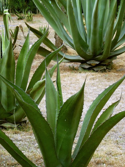 maguey century plant pita
