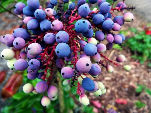 mahogany berries blue
