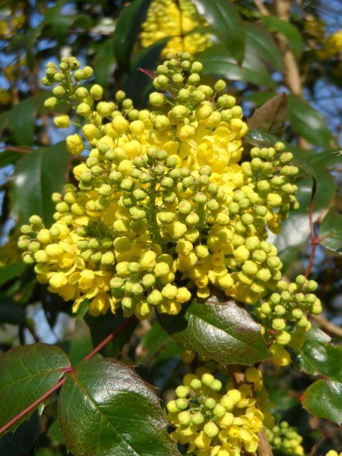 mahogany flowers yellow