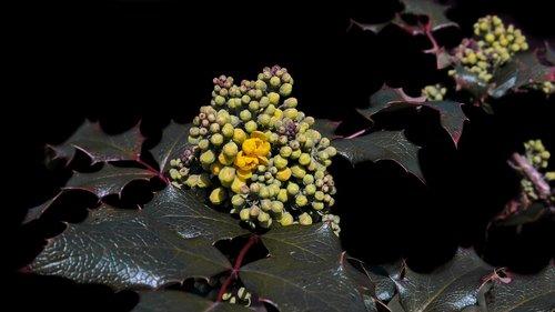 mahogany  mahonia aquifolium  golden yellow