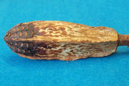 mahogany-core rhomboidal meliaceae indonesia