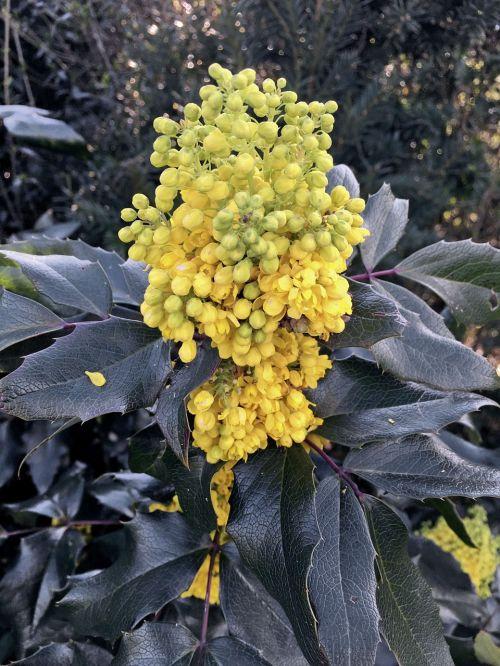 mahonia mahogany blossom