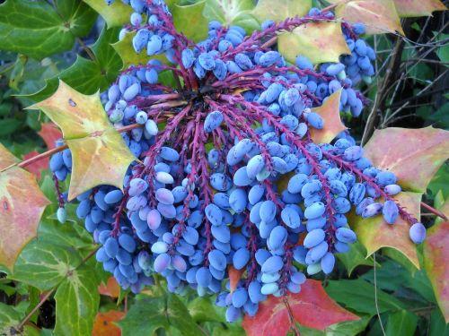 mahonia berries leather leaf