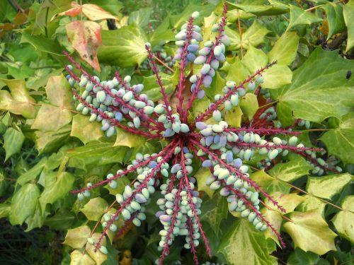 mahonia berries plant