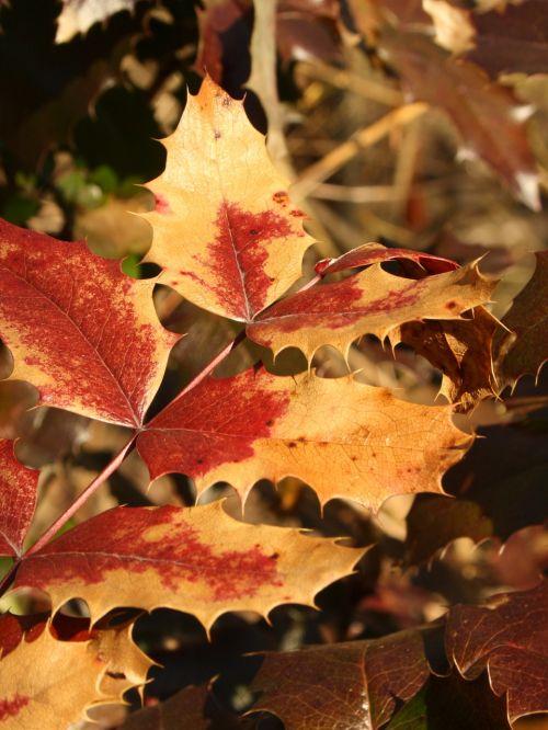 mahonia leaves twig