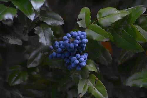 mahonia  fruit  leaves