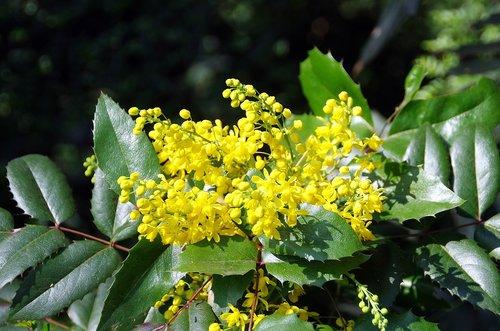 mahonia  aquifolium  berberidacée