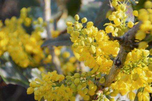 mahonia  shrub  berries