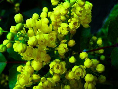 mahonia yellow flower spring