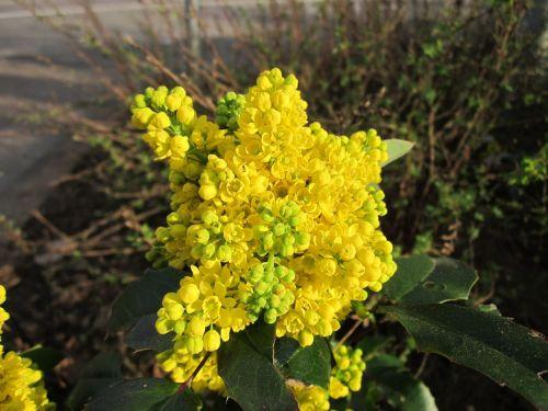 mahonia plant wildflower