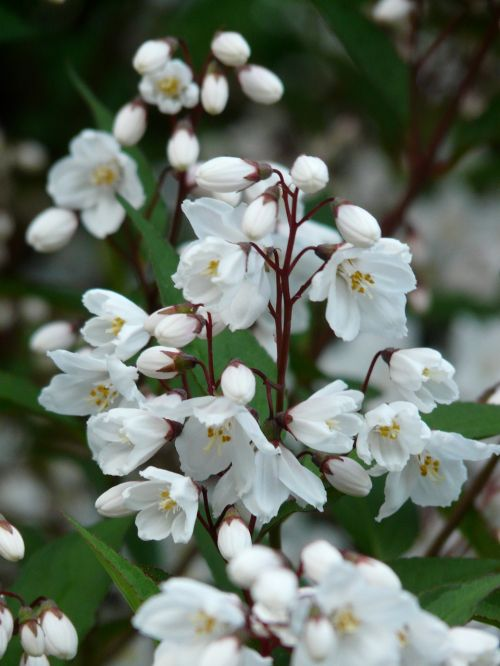 maiblumenstrauch,Deutzie,šiltnamio hortensia,dekoratyvinis krūmas,dekoratyvinis augalas,sternchen krūmas,žiedas,žydėti,budas,balta,žalias,lapai,augalas,krūmas,varpas,pavasaris