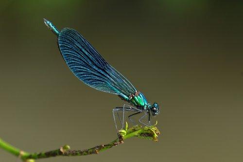 maid  odonata  dragonfly