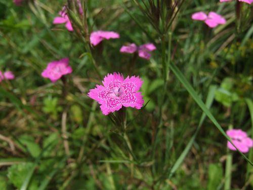 maiden pink carnation flower