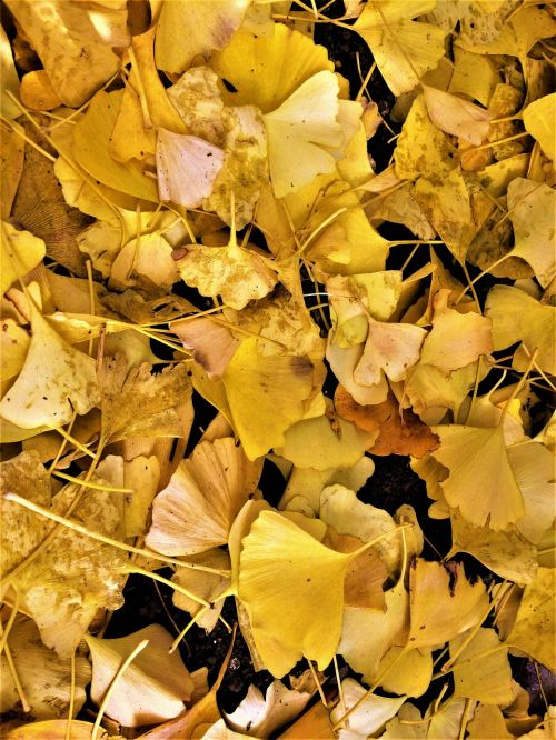 maidenhair tree,gingko tree,yellow leaves,dead leaves,fallen leaves,yellow,atmosphere,autumn,city,trodden,road,night,gotanda,minato-ku,tokyo,japan