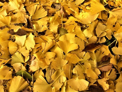 maidenhair tree,gingko tree,yellow leaves,dead leaves,fallen leaves,yellow,atmosphere,golden,shining,autumn,park,otsu park,yokosuka,kanagawa japan,japan