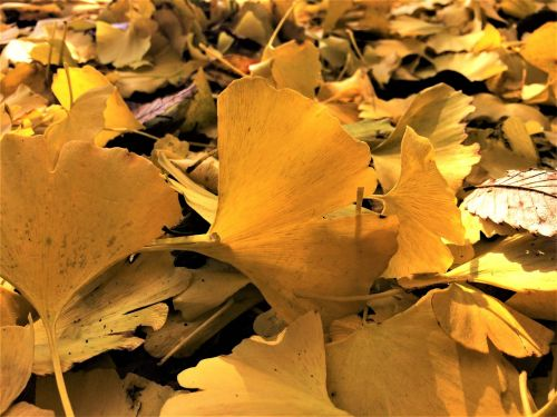 maidenhair tree,gingko tree,yellow leaves,dead leaves,fallen leaves,yellow,atmosphere,golden,autumn,up,backlight,light,shining,park,otsu park,yokosuka,kanagawa japan,japan