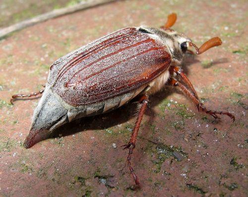 maikäfer beetle may