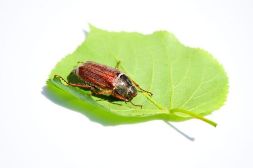 maikäfer cockchafer beetle