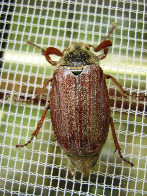 maikäfer fly screens insect
