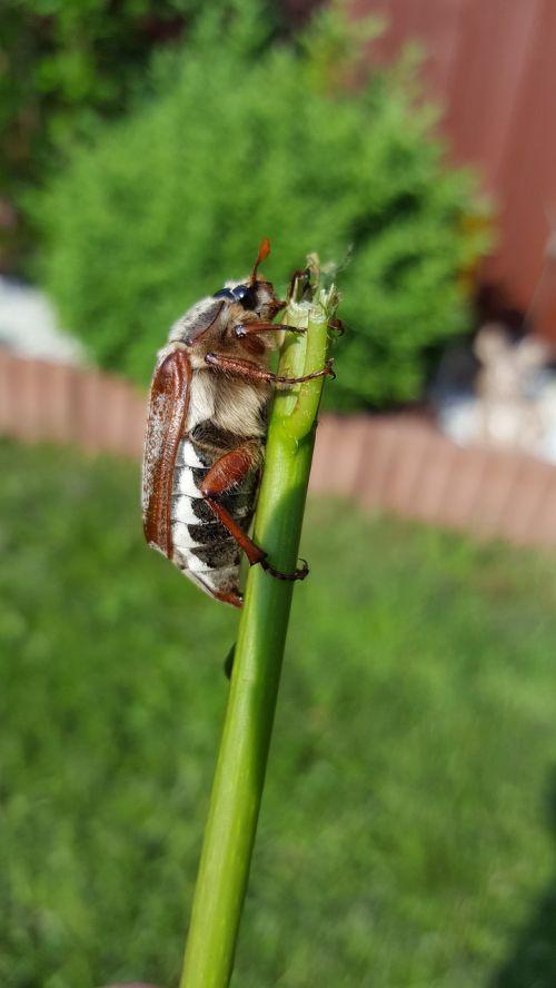 maikäfer beetle crawl