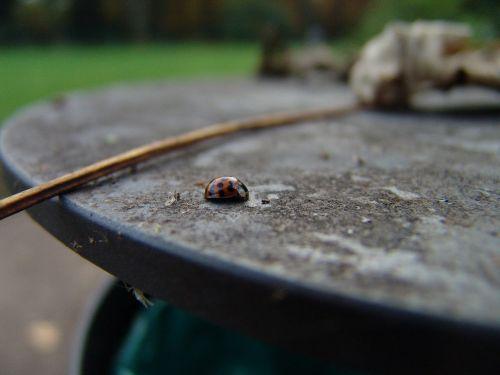 maikäfer blur autumn