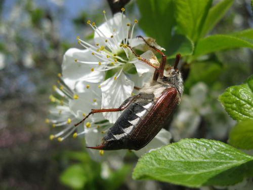 maikäfer spring beetle