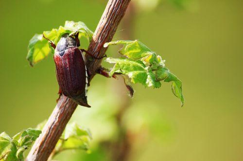 maikäfer may beetle