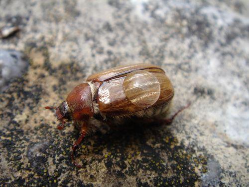 maikäfer beetle chafer