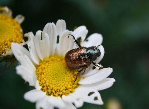 maikäfer beetle close