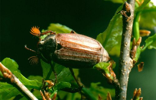 maikäfer beetle insect
