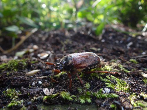 maikäfer nature ladybug
