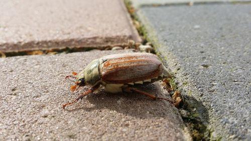 maikäfer crawl animal