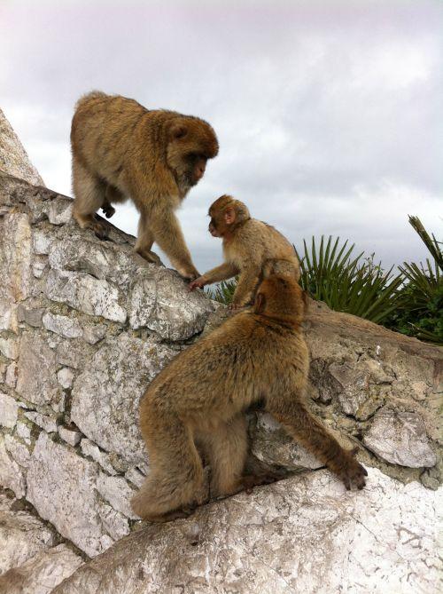 Maimute Gibraltar
