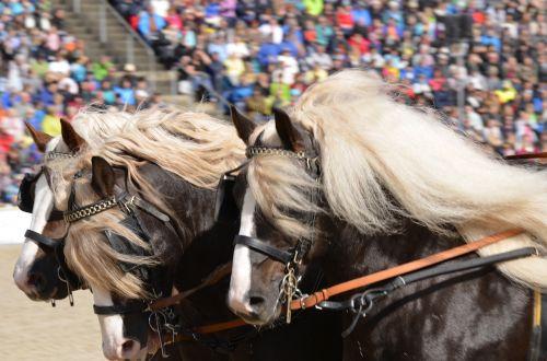 main and state stud marbach stallion parade kaltblut