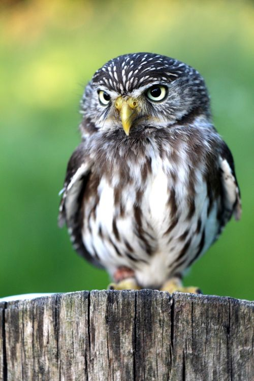 main article foreign relations owl nature at placket