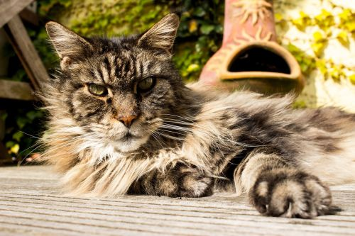 main coon pet cat