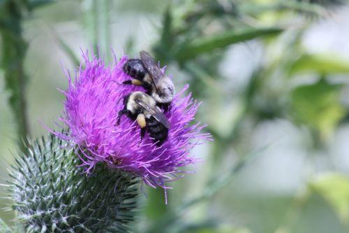 maine,medaus BITĖ,gėlė,žalias,pakrantės,žiedadulkės,vabzdys,gamta,bičių,vasara,augalas,laukiniai,lauke