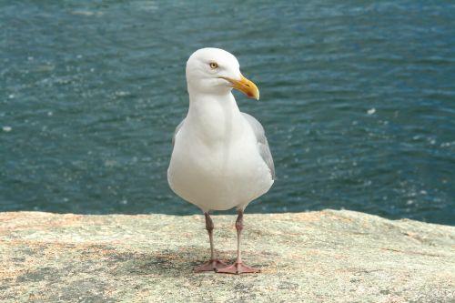 maine seagull sea