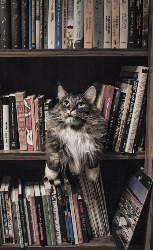 maine coon cat bookshelf
