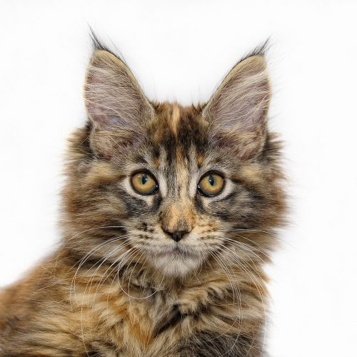 maine coon cat young cat