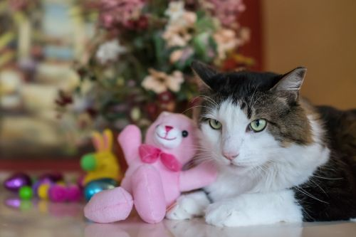 maine coon, katė, mielas, mažai, gyvūnas, portretas, gamta, naminis gyvūnėlis, žemas, vidaus, žalios akys, gražus, mielas, žiūri, pūkuotas, be honoraro mokesčio