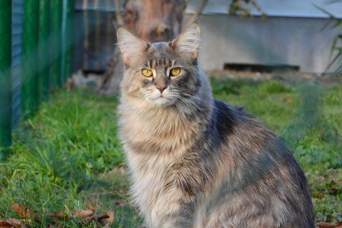 maine coon cat,katė,geltonos akys,didelė katė,jie